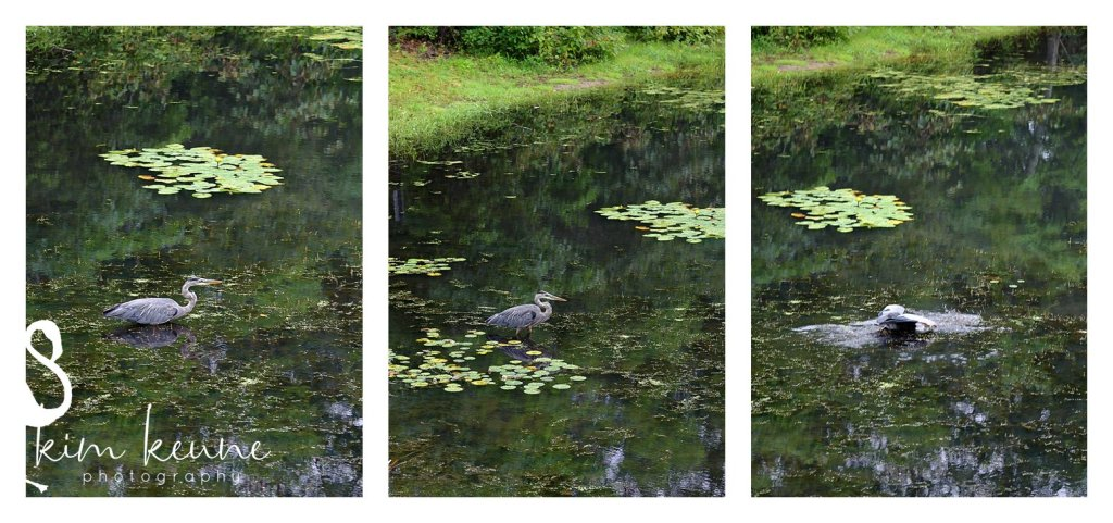 series of bird walking in water to catch a fish at Lincoln Wood State Park